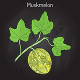 Muskmelon or Cucumis melo Royalty Free Stock Image