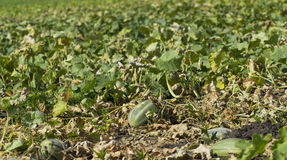 Muskmelon Crop and  Plantation Royalty Free Stock Image