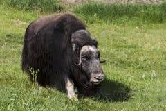 muskox是一只北极哺乳动物 库存图片