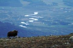 Muskox麝牛在horizont的moschatus身分在格陵兰 强大野生野兽大动物在自然栖所,风景与 免版税库存照片