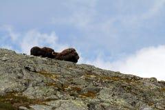 Muskox麝牛在horizont的moschatus身分家庭在格陵兰 强大野生野兽 大动物在自然栖所,Arct 库存照片