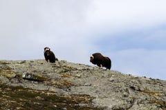 Muskox麝牛在horizont的moschatus身分家庭在格陵兰 强大野生野兽 大动物在自然栖所,Arct 库存图片