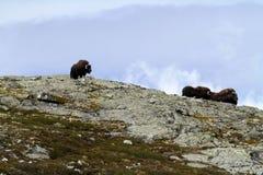 Muskox麝牛在horizont的moschatus身分家庭在格陵兰 强大野生野兽 大动物在自然栖所 免版税图库摄影