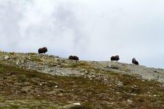 Muskox麝牛在horizont的moschatus身分家庭在格陵兰 强大野生野兽 大动物在自然栖所 图库摄影