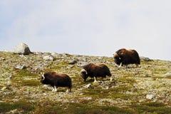 Muskox麝牛在horizont的moschatus身分家庭在格陵兰 强大野生野兽 大动物在自然栖所 库存照片