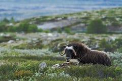 Muskox麝牛moschatus 平安地说谎在草的麝牛公牛在格陵兰 强大狂放的野兽阴云密布,与垫铁的大动物 图库摄影
