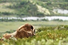 Muskox麝牛moschatus 平安地说谎在草的麝牛公牛在格陵兰 强大狂放的野兽阴云密布,与垫铁的大动物 免版税图库摄影