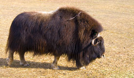 Muskox Images stock
