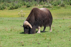 Muskox Stock Photography