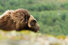 The MuskOx Royalty Free Stock Images