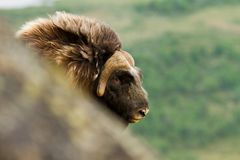 The MuskOx Stock Photos