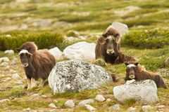 The MuskOx Stock Images