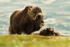 The MuskOx Royalty Free Stock Image