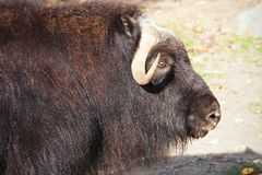 Muskox Royalty Free Stock Images