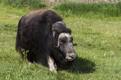 The muskox is an Arctic mammal. Noted for its thick coat Stock Images