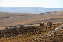 Muskox in Arctic Tundra Royalty Free Stock Photo