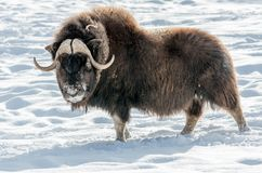The muskox as big as majestuous royalty free stock photography