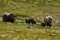 Muskox bij bergen in Noorwegen Royalty-vrije Stock Fotografie