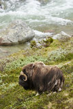 Muskox blisko do rzeki Fotografia Stock