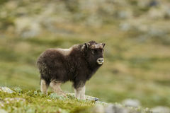 Muskox calf Royalty Free Stock Photo