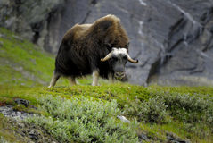 Muskox in countryside. Single Muskox in countryside, rock formation in background, Norway Stock Photos