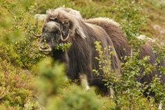 Muskox in the countryside Royalty Free Stock Photos