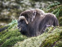 Muskox in countryside Royalty Free Stock Image