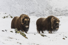 Muskox deux Dovrefjell Photo stock