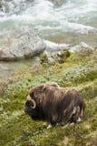 Muskox dicht bij een rivier Stock Fotografie