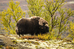 Muskox in Dovrefjell National Park, Norway Stock Photography