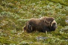Muskox Dovrefjell nationalpark Norge Royaltyfri Fotografi