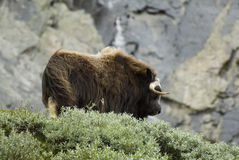 Muskox in Dovrefjell, Norway Royalty Free Stock Image