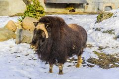 Muskox in the early spring evening is in the aviary in the snow.  stock photography