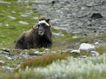 Muskox en Norvège Photographie stock