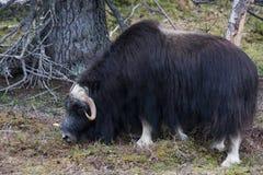 Muskox. A grazing muskox or ovibos moschatus Stock Photos