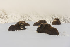 Muskox Group Dovrefjell Stock Photo
