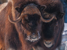 Muskox head close-up in the winter. 1 Stock Photos
