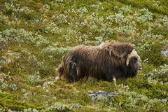 Muskox, het Nationale Park Noorwegen van Dovrefjell Royalty-vrije Stock Fotografie
