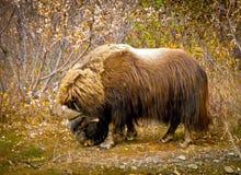 Muskox i Alaska Arkivfoton