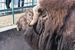 Muskox Royalty Free Stock Image