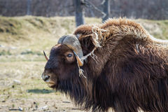 Muskox. A lone Alaskan Muskox out on the tundra Stock Photo