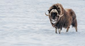 Muskox Looking in Your Eyes royalty free stock image