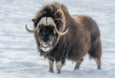 Muskox Looking in Your Eyes stock photos