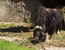 Muskox (moschatus Ovibos) Royalty-vrije Stock Foto's