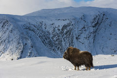 Muskox and Mountain Royalty Free Stock Photography