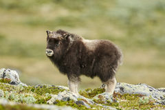 Muskox na tundra estéril fotografia de stock royalty free