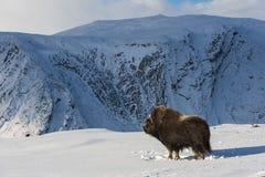 Muskox och berg Royaltyfri Fotografi