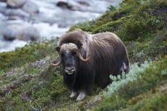 Muskox op berghelling Stock Foto's