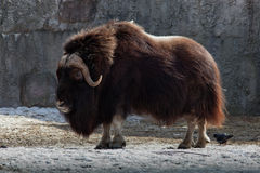 Muskox, Ovibos moschatus Royalty Free Stock Photography