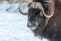 The muskox Ovibos moschatus, also spelled musk ox and musk-ox. At Omega Park, Qc, Canada royalty free stock images